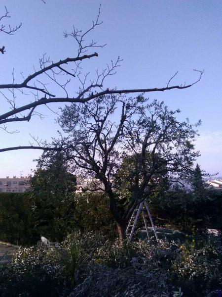 Taille d'olivier (après)