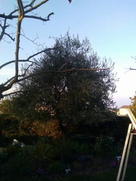 Taille d'olivier (avant)